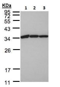 Western blot - Anti-eEF1B2 antibody (ab228642)