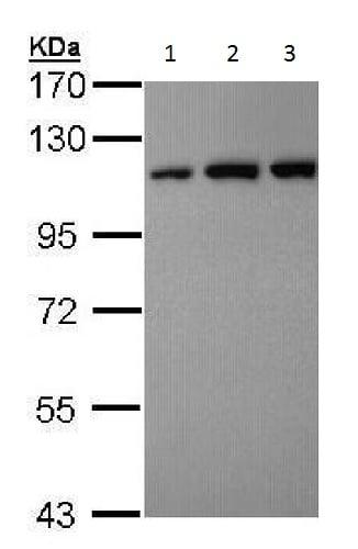 Western blot - Anti-USO1 antibody - C-terminal (ab228648)