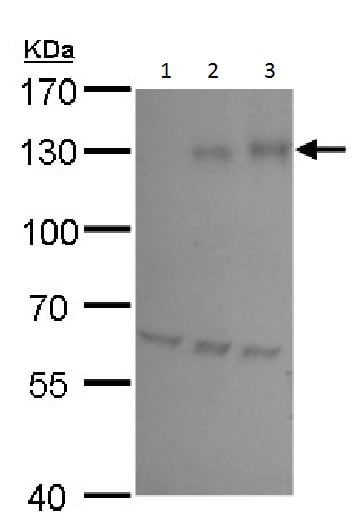 Western blot - Anti-HIF-1 alpha antibody - C-terminal (ab228649)