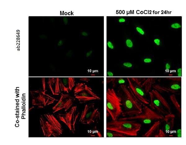 Immunocytochemistry/ Immunofluorescence - Anti-HIF-1 alpha antibody - C-terminal (ab228649)