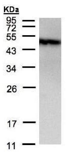 Western blot - Anti-PIST antibody - C-terminal (ab228652)