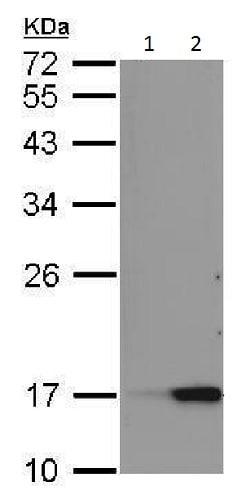Western blot - Anti-Reg3a antibody - C-terminal (ab228662)