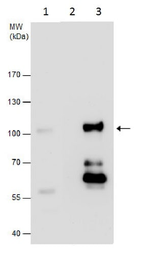 Immunoprecipitation - Anti-NUP98 antibody - C-terminal (ab228667)