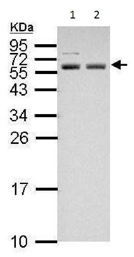 Western blot - Anti-APG5L/ATG5 antibody (ab228668)