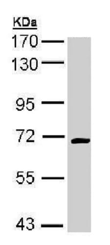 Western blot - Anti-CRMP1 antibody (ab228669)