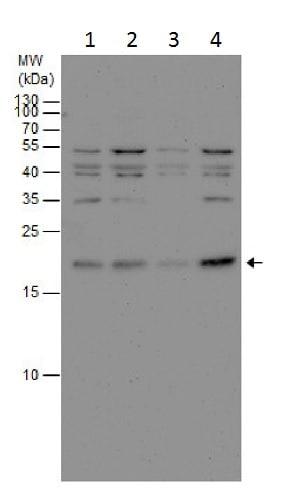 Western blot - Anti-BOG antibody (ab228670)