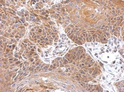 Immunohistochemistry (Formalin/PFA-fixed paraffin-embedded sections) - Anti-Gephyrin antibody (ab228674)