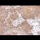 Immunohistochemistry (Formalin/PFA-fixed paraffin-embedded sections) - Anti-Gephyrin antibody (ab228674)