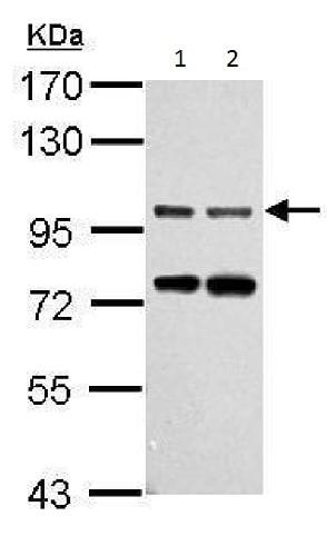 Western blot - Anti-Gephyrin antibody (ab228674)