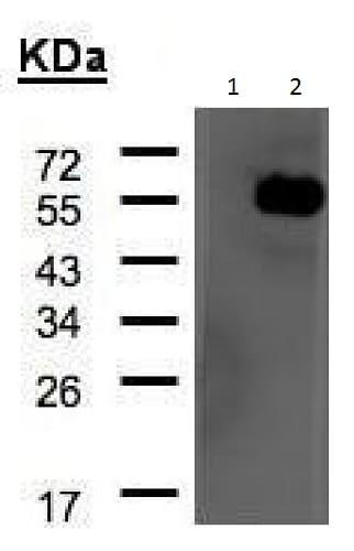 Western blot - Anti-ARHGAP1 antibody - N-terminal (ab228678)