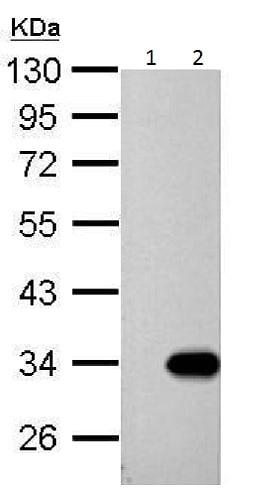 Western blot - Anti-galectin 9/Gal-9 antibody (ab228686)