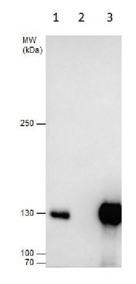 Immunoprecipitation - Anti-Dnmt3a antibody - N-terminal (ab228691)
