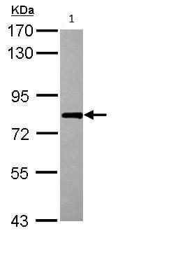 Western blot - Anti-RBM14 antibody - N-terminal (ab228692)