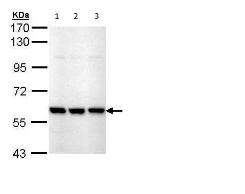 Western blot - Anti-PRP19 antibody (ab228694)