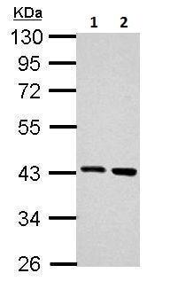 Western blot - Anti-Arg2 antibody (ab228700)