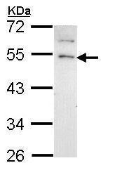 Western blot - Anti-GRPR antibody - N-terminal (ab228706)