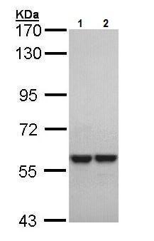 Western blot - Anti-MYH/MUTYH antibody (ab228722)