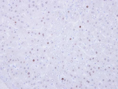 Immunohistochemistry (Formalin/PFA-fixed paraffin-embedded sections) - Anti-VRK1 antibody (ab228725)