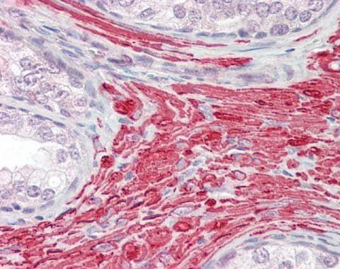 Immunohistochemistry (Formalin/PFA-fixed paraffin-embedded sections) - Anti-PRDC antibody - C-terminal (ab228736)