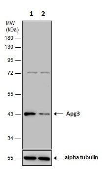 Western blot - Anti-ATG3 antibody (ab228749)