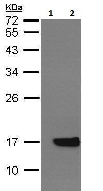 Western blot - Anti-Cytochrome b5 antibody (ab228751)
