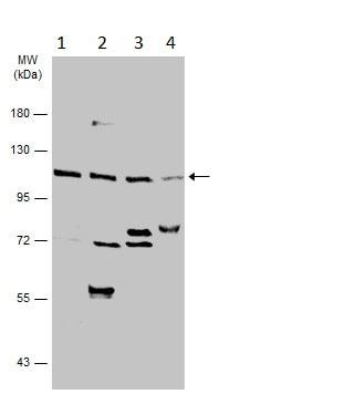 Western blot - Anti-GWL antibody (ab228753)
