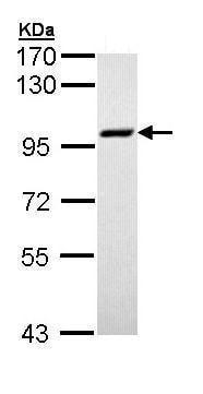 Western blot - Anti-MCM3 antibody - C-terminal (ab228778)
