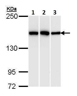 Western blot - Anti-HDLBP antibody (ab228792)