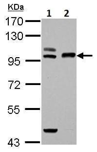 Western blot - Anti-Transferrin Receptor 2/TFR2 antibody (ab228796)