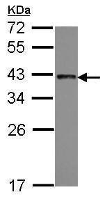 Western blot - Anti-TRA2B/SFRS10 antibody (ab228799)
