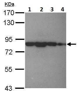 Western blot - Anti-eIF4B antibody - N-terminal (ab228800)