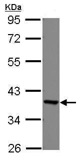 Western blot - Anti-EEF1D antibody (ab228803)