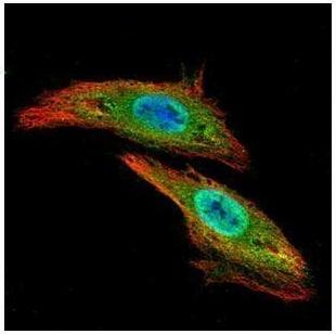 Immunocytochemistry/ Immunofluorescence - Anti-CLK3 antibody (ab228805)