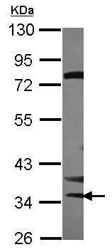 Western blot - Anti-STK16 antibody (ab228806)