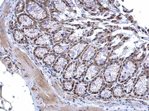 Immunohistochemistry (Formalin/PFA-fixed paraffin-embedded sections) - Anti-MTF2 antibody - C-terminal (ab228829)