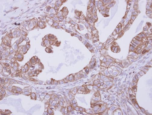 Immunohistochemistry (Formalin/PFA-fixed paraffin-embedded sections) - Anti-CNNM4 antibody - C-terminal (ab228831)