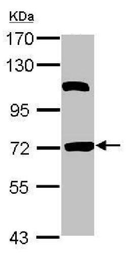 Western blot - Anti-HSPBAP1 antibody (ab228839)