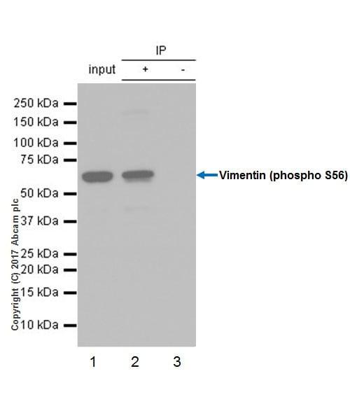 Immunoprecipitation - Anti-Vimentin (phospho S56) antibody [EPR21084] - BSA and Azide free (ab228854)