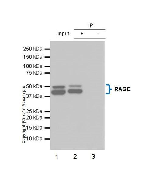 Immunoprecipitation - Anti-RAGE antibody [EPR21171] - BSA and Azide free (ab228861)