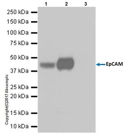Immunoprecipitation - Anti-EpCAM antibody [EPR20533-63] - BSA and Azide free (ab228876)