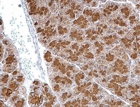 Immunohistochemistry (Formalin/PFA-fixed paraffin-embedded sections) - Anti-Granuphilin antibody (ab228892)