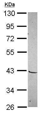 Western blot - Anti-MKX antibody (ab228895)