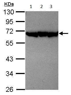 Western blot - Anti-PSMD12 antibody (ab228902)