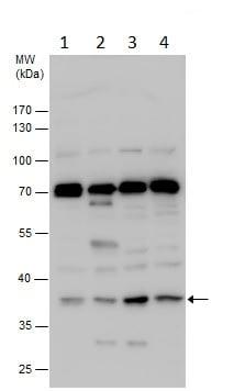 Western blot - Anti-PLSCR4 antibody (ab228907)