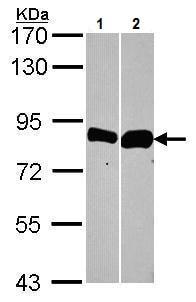 Western blot - Anti-Thimet Oligopeptidase antibody (ab228910)