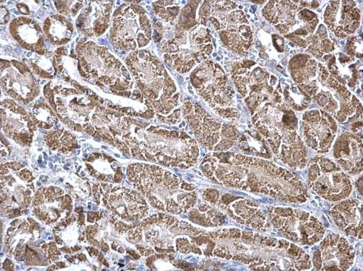 Immunohistochemistry (Formalin/PFA-fixed paraffin-embedded sections) - Anti-Aconitase 2 antibody (ab228923)