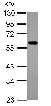 Western blot - Anti-ZNF207/BUGZ antibody (ab228926)