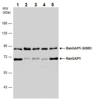 Western blot - Anti-RanGAP1 antibody - N-terminal (ab228927)