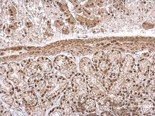 Immunohistochemistry (Formalin/PFA-fixed paraffin-embedded sections) - Anti-IPO5 antibody - C-terminal (ab228929)