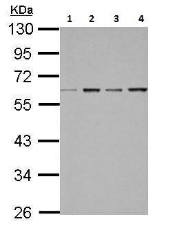 Western blot - Anti-Bile Acid Receptor NR1H4 antibody (ab228949)